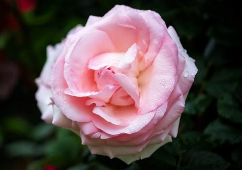 雨水とピンクのバラ
