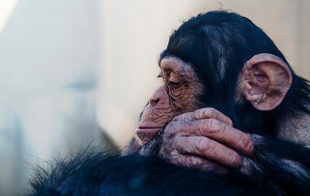 落胆する表情のチンパンジー