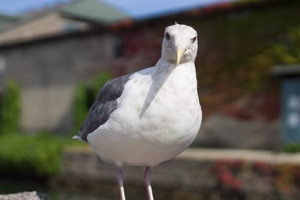 小樽の野鳥